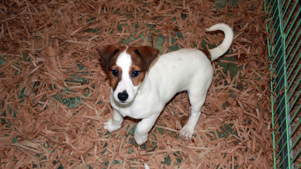Allevamento e vendita cane Jack Russell a Bari e Matera