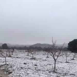 Apariencia del arbol del pistacho en invierno