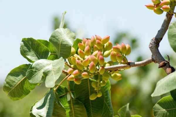 Frutos del arbol del pistacho