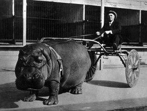 Hipopótamo de circo puxando uma carroça, 1924.