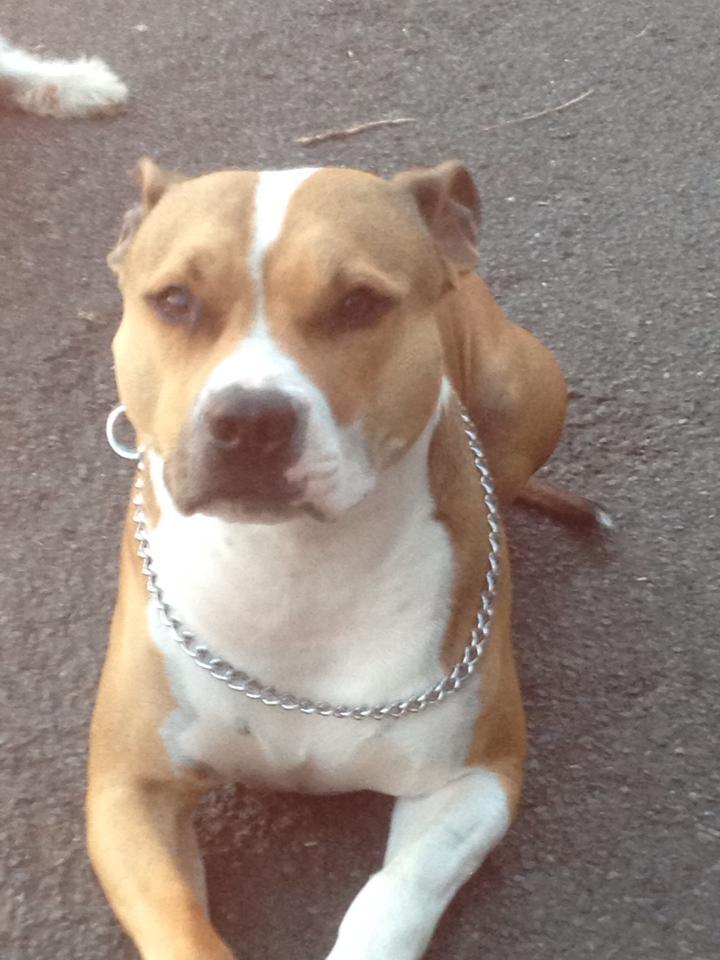 American Staffordshire Terrier  Pitbull  Amstaff Diaries