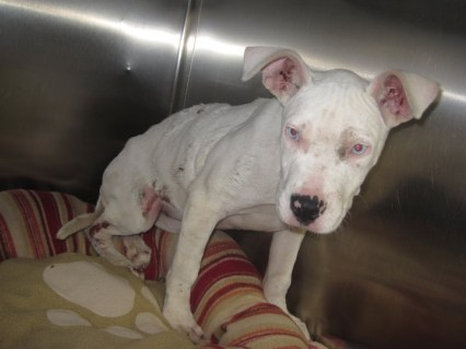 Lilos found Hope living under a porch in Vineland, NJ. She was badly abused, had missing skin, could barely walk, and was severely underweight. She was only 15 weeks old.