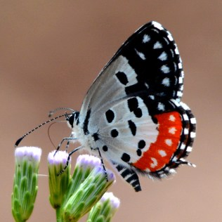 Red Pierrot butterfly, photo: Bubesh Guptha
