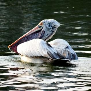 Grey Pelican, photo: Bubesh Guptha