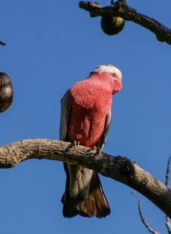 這隻鳥就是著名的玫瑰胸鸚鵡。