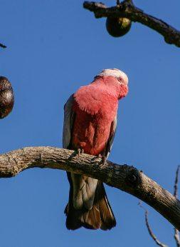 この鳥は有名なローズブレストオウムです。