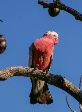 이 새는 유명한 장미 가슴 앵무새입니다.
