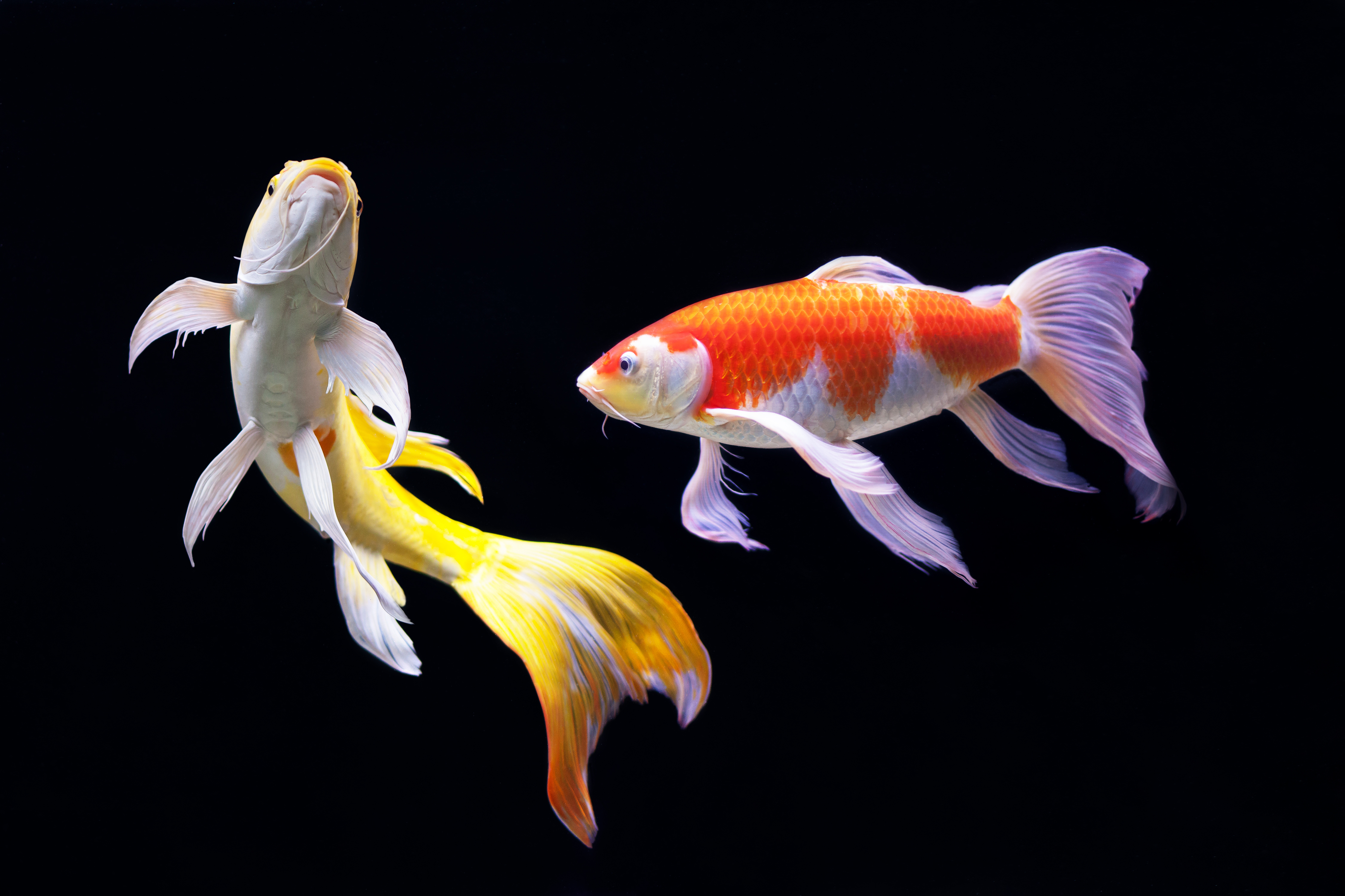 3d Koi Pond Live Wallpaper Items Which You Need To Expect When Acquiring Koi Fish