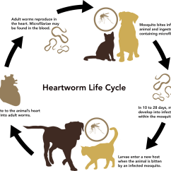 Lion Life Cycle Diagram Wiring For Potential Relay Dog
