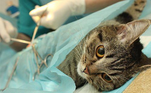 Как принять роды у кошки в домашних условиях. Как вызвать роды у кошки: стимуляция и ускорение Что делать если у кошки схватки