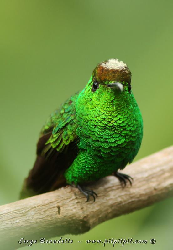 Le Chant Du Colibri Tirage : chant, colibri, tirage, Costa