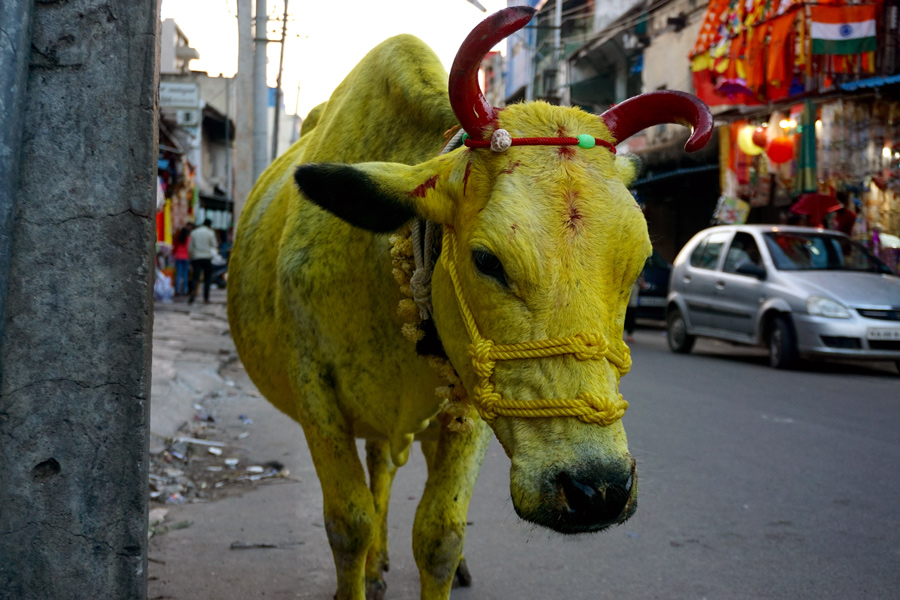 Pit Productions Cow in Mysuru India at Sankranthi Festival
