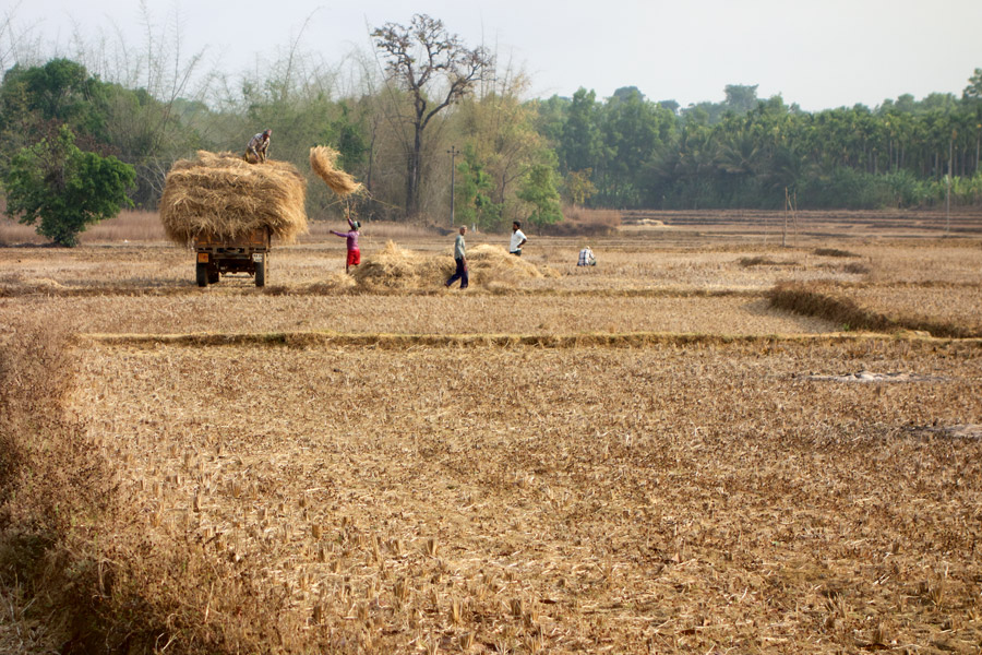 Throwing Hay in Sirsi