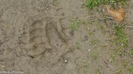 Tracking bears