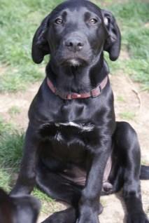 Great Dane Puppies 12