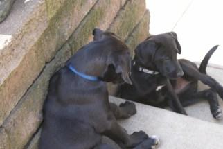 Great Dane Puppies 4