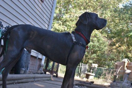 Clyde Pittsburgh dane rescue (19)