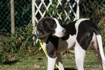 Pa Great dane Rescue adoption (72)