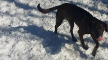 Moose Pittsburgh great dane rescue (10) (1024x576)