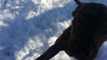 Moose Pittsburgh great dane rescue (3) (1024x576)