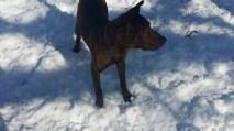 Moose Pittsburgh great dane rescue (4) (1024x576)