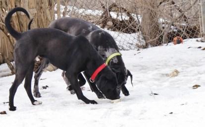 Boomer PA Great Dane Rescue (2)