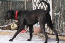 Boomer PA Great Dane Rescue (28)