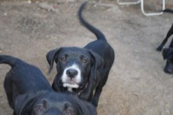 Puppies pa great dane rescue (17) (1024x685)