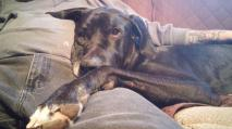 Thor Pa great Dane Rescue (2)