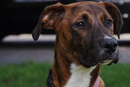 Hazel Great Dane rescue puppy (1)