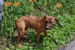 Hazel Great Dane rescue puppy (13)