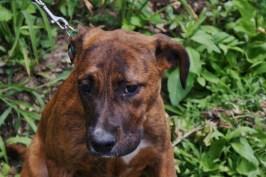 Hazel Great Dane rescue puppy (9)