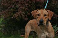 Riley Pa Great Dane Rescue (2)
