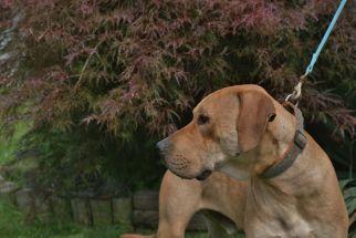 Riley Pa Great Dane Rescue (3)