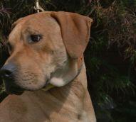 Riley Pa Great Dane Rescue (5)
