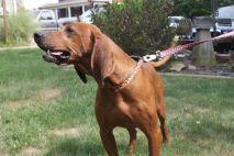 Jake PA Great Dane Rescue (8)