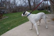 Chester Pittsburgh Great Dane (6)