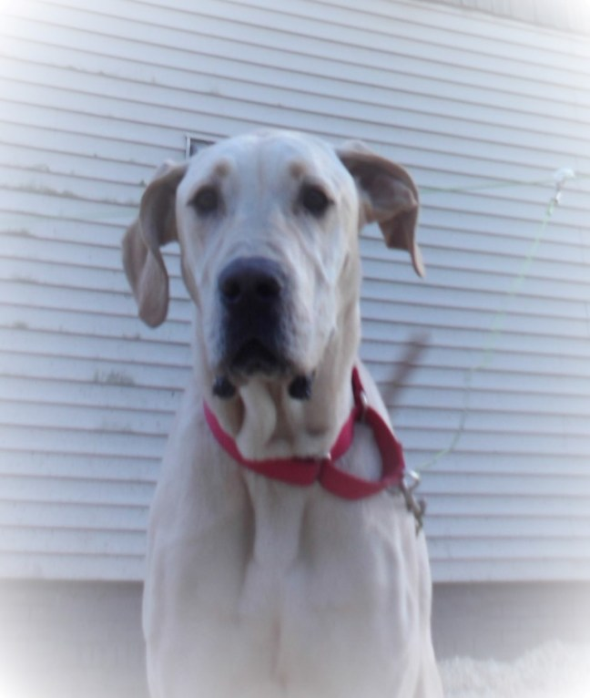 Dixie Pittsburgh Great Dane Rescue (6)