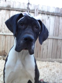 Katie Perry PA Great Dane Rescue (3)