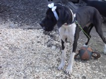 Katie Perry PA Great Dane Rescue (4)