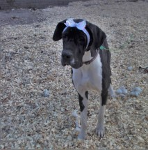 Katie Perry PA Great Dane Rescue (5)