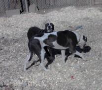 Bella PA Great Dane Rescue (4)