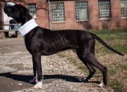 caldwell Pa Great Dane Rescue (1)