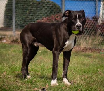 caldwell Pa Great Dane Rescue (10)