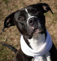 caldwell Pa Great Dane Rescue (2)