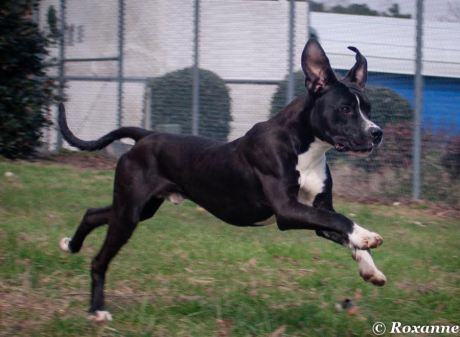 caldwell Pa Great Dane Rescue (8)