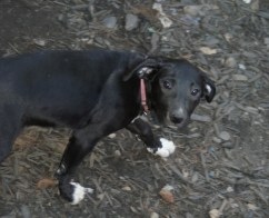 Great Dane rescue puppy