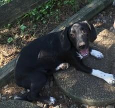 rescue-pa-great-dane-puppy-14