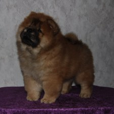 Piuk Chow Puppies