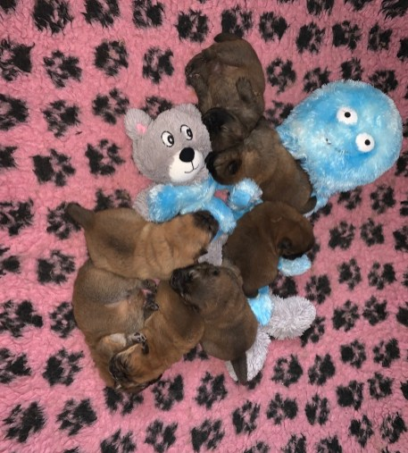 Piuk Chow Puppies 2019